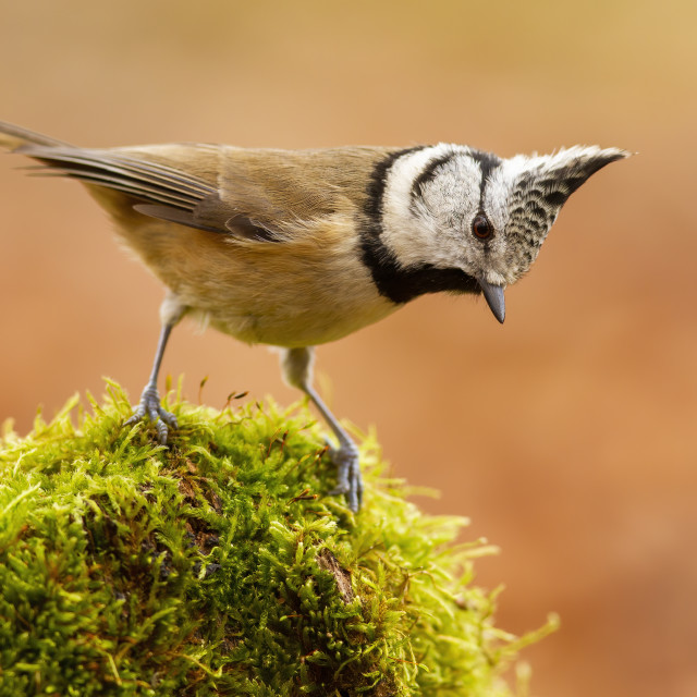 """""""Little crested tit standing on moss in summer nature."""" stock image"""