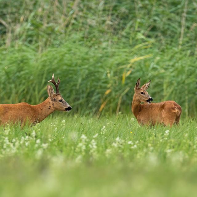 """""""Pair of roe deer standing on field in summertime."""" stock image"""