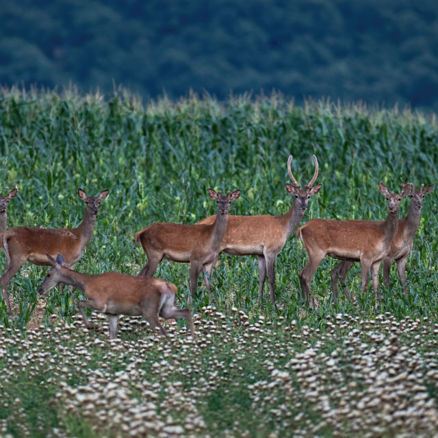 """""""Group of red deer standing on corn field during the summer."""" stock image"""