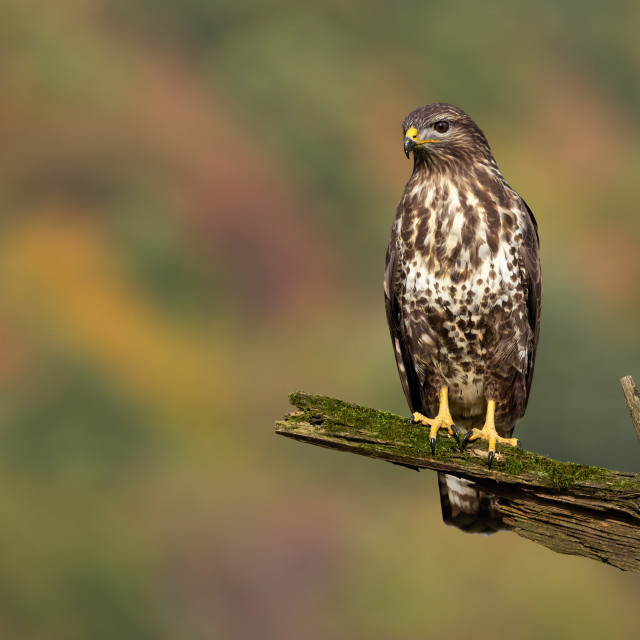 """""""Common buzzard sitting on branch in summer."""" stock image"""