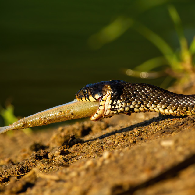 """""""Grass snake holding a fish in mouth on riverbank in sunset."""" stock image"""