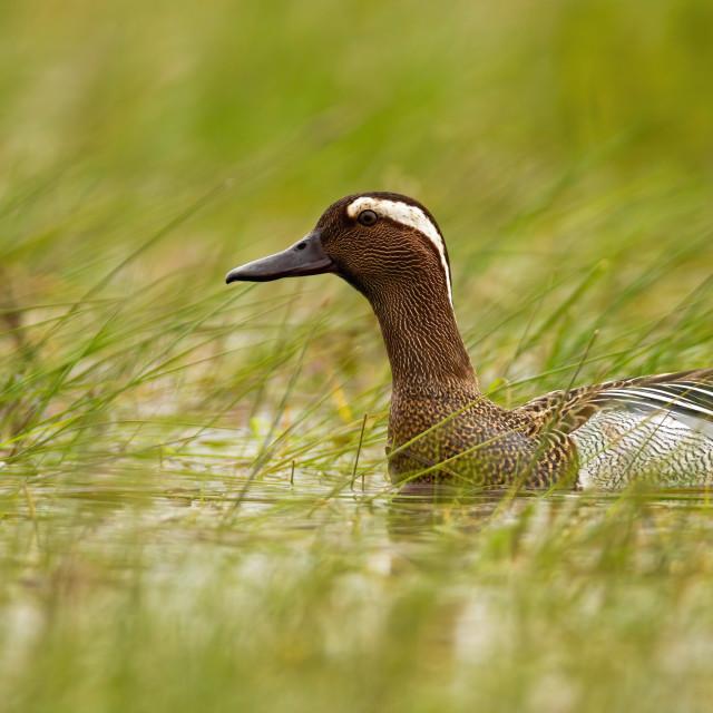 """Garganey swimming in swamp in summertime nature."" stock image"