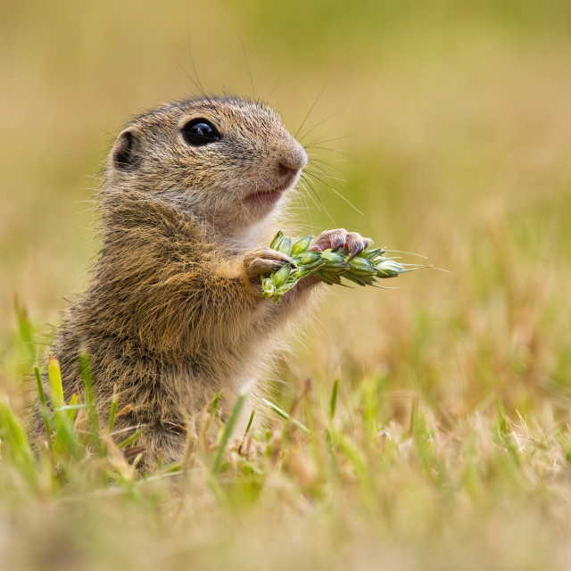 """""""European ground squirrel holding ear in hand on field."""" stock image"""