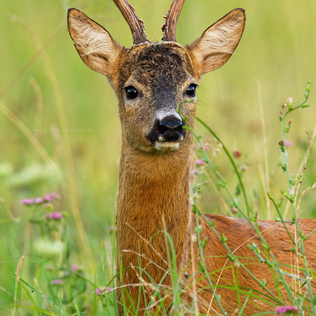 """""""Interested roe deer buvk looking to the camera on meadow."""" stock image"""