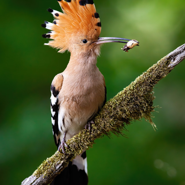 """""""Eurasian hoopoe sitting on bough with moss."""" stock image"""
