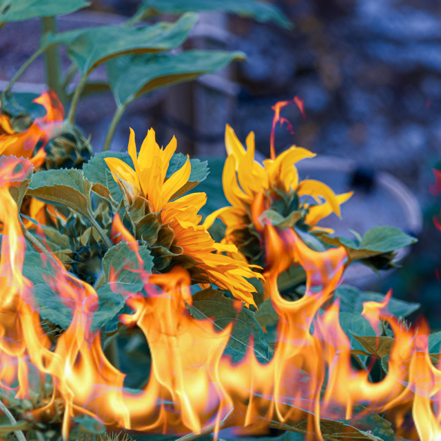 """""""Sunflowers on Fire"""" stock image"""