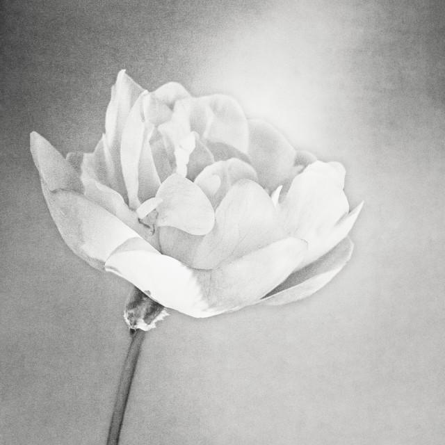 """""""Light Flower"""" stock image"""