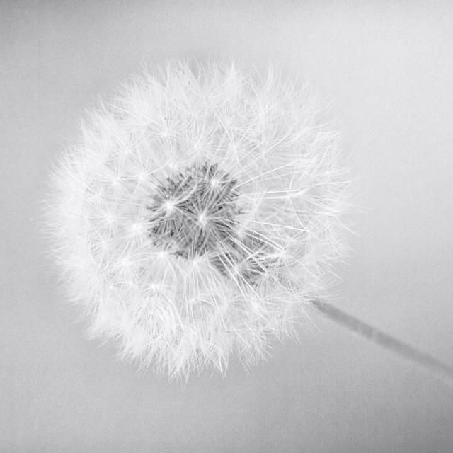 """""""Light Dandelion"""" stock image"""