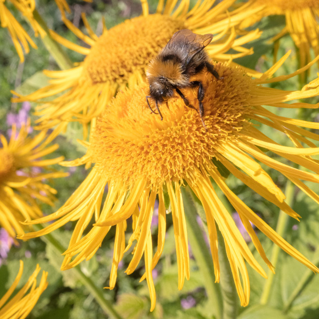 """""""Bee And Yellow Flower IV"""" stock image"""