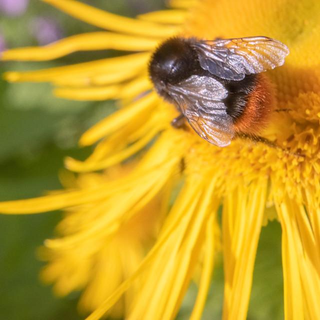 """""""Bee And Yellow Flower III"""" stock image"""