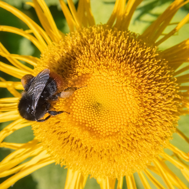 """""""Bee And Yellow Flower"""" stock image"""