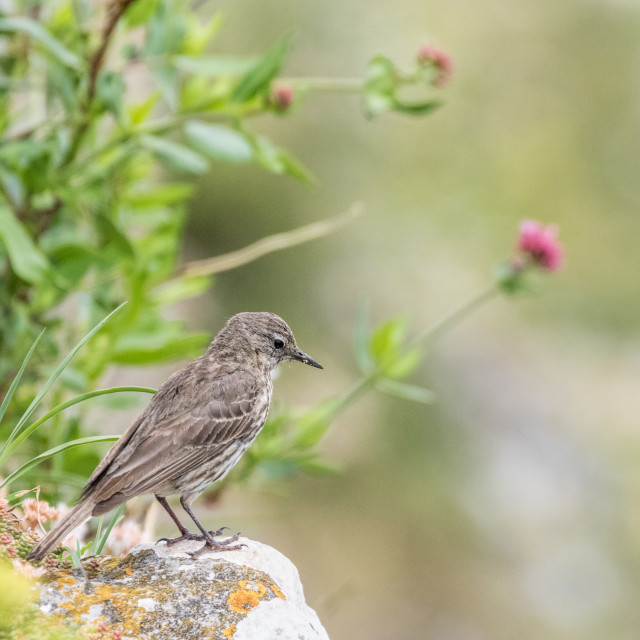 """Pipit"" stock image"