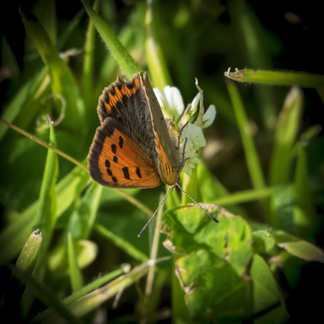 """Small Copper butterfly"" stock image"