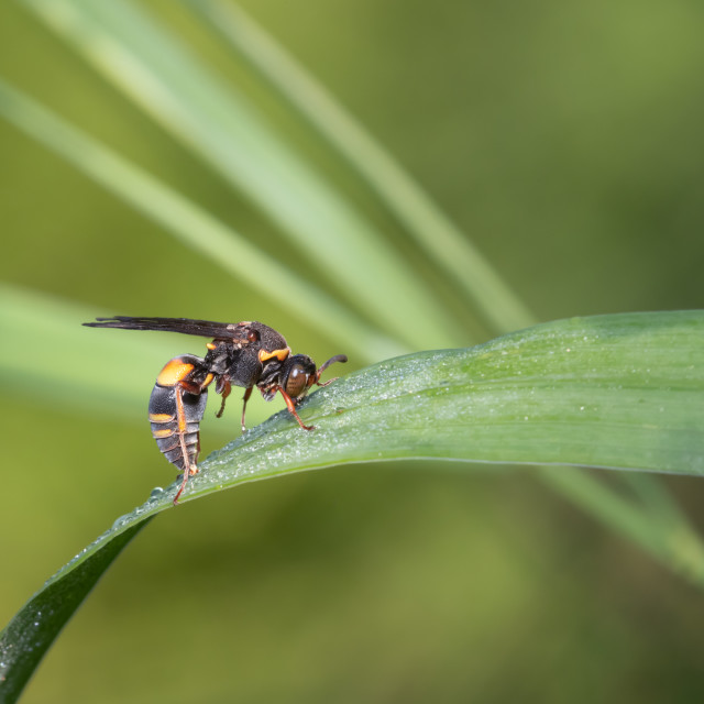 """""""Devious Sand Wasp Drinking Morning Dew"""" stock image"""