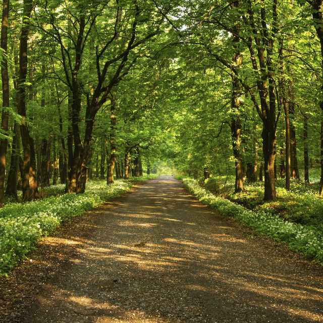 """""""Lone path in a lush springtime forest."""" stock image"""