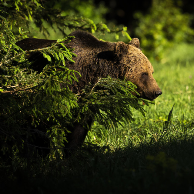 """""""Male brown bear standing behind the tree in forest."""" stock image"""