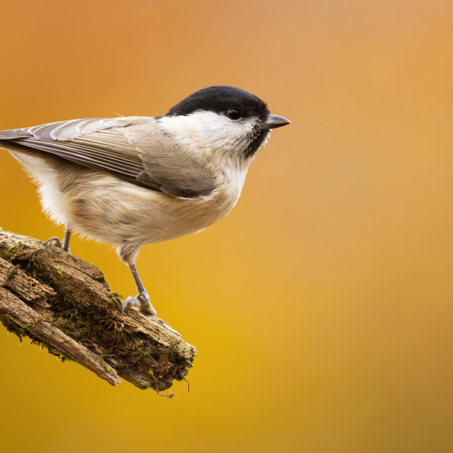 """""""Willow tit sitting on branch in autumn nature with copy space."""" stock image"""