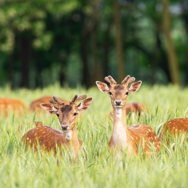 """""""Fallow deer stags standing in grain in summertime nature."""" stock image"""