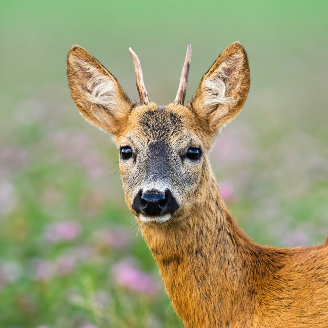 """""""Juvenile roe deer buck standing on meadow from close up."""" stock image"""
