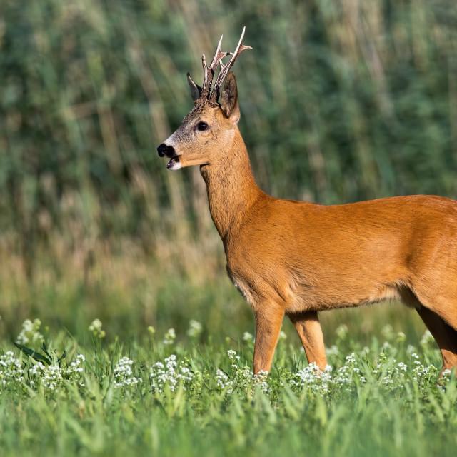 """""""Roe deer buck standing on meadow with wildflowers in summertime."""" stock image"""
