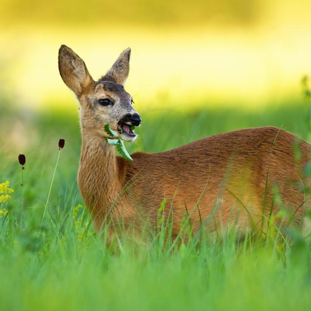 """Roe deer doe chewing on meadow in summertime nature."" stock image"