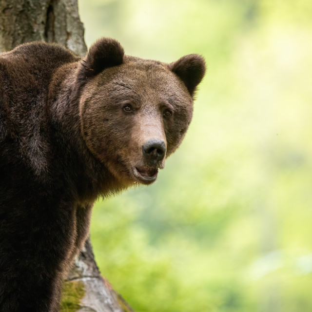 """""""Portrait of brown bear standing in forest from close up in summer."""" stock image"""