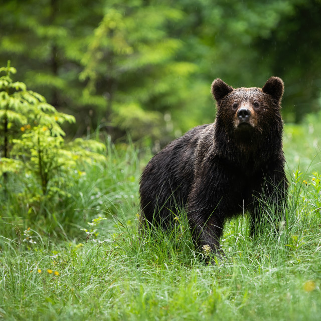 """""""Impressive brown bear standing in forest in summer nature."""" stock image"""