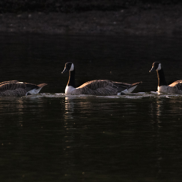 """Canada Geese gold"" stock image"