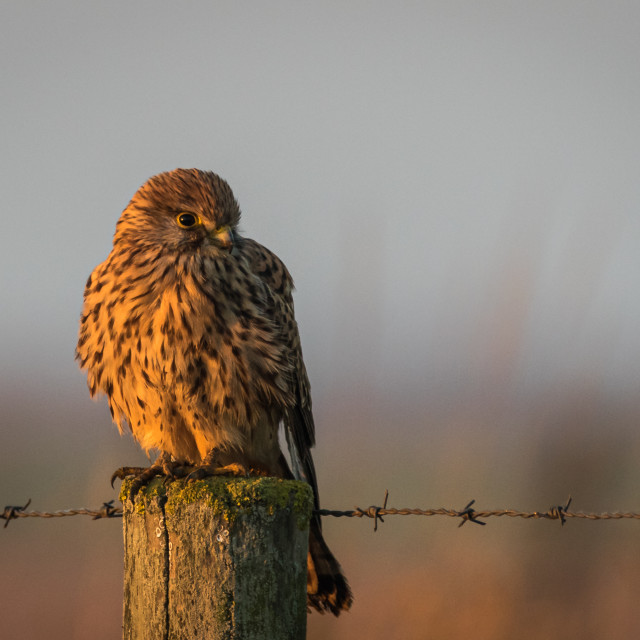 """Common kestrel perched on a fence post"" stock image"