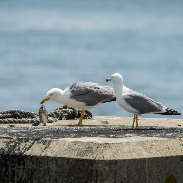 """Pair of lesser black-backed gulls with fish on a pillar"" stock image"