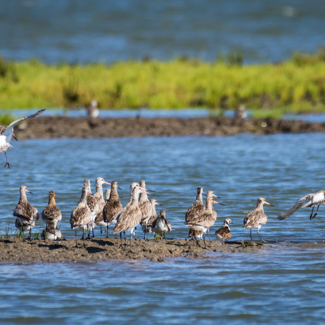 """Small flock of bar-tailed godwits in the marshlands"" stock image"