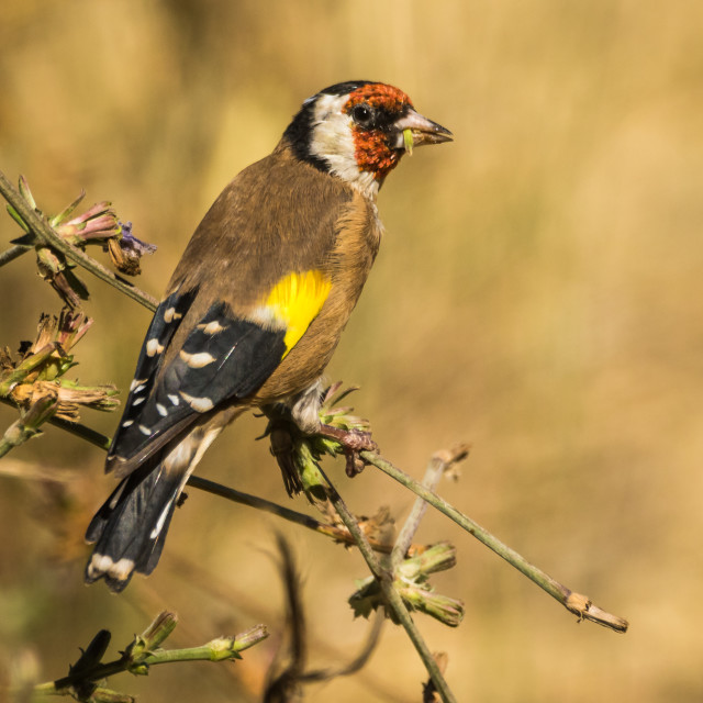 """European goldfinch eating seeds perched on a branch"" stock image"