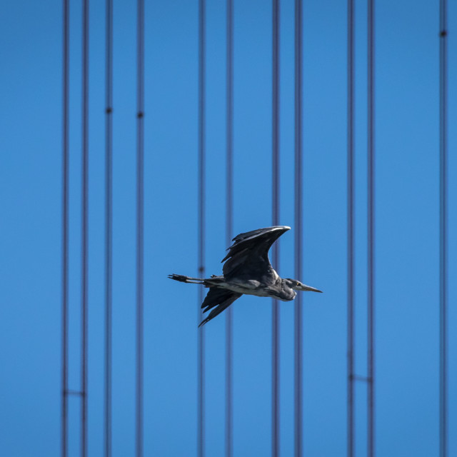 """Grey heron flying near Tagus River, in Lisbon"" stock image"