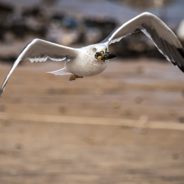 """Seagull flying away carrying a mussel in its beak"" stock image"