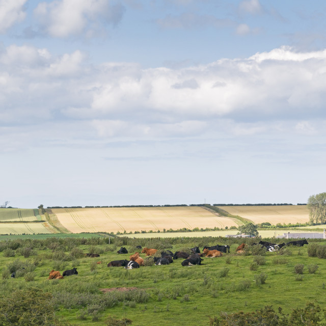 """""""Farming scene with cows lying in a field and an arable backgroun"""" stock image"""