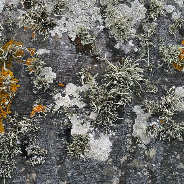 """""""Stone Lichen close-up"""" stock image"""