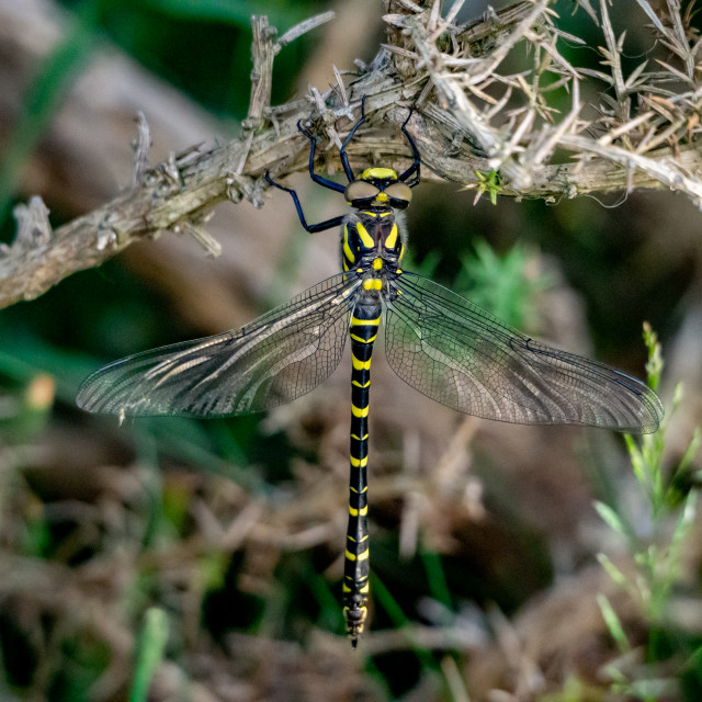 """""""Golden-ringed Dragonfly."""" stock image"""