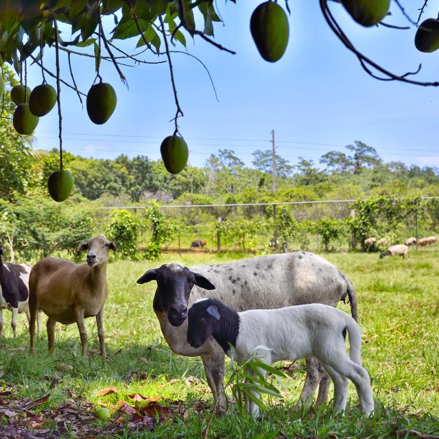 """Goats under a mango tree"" stock image"