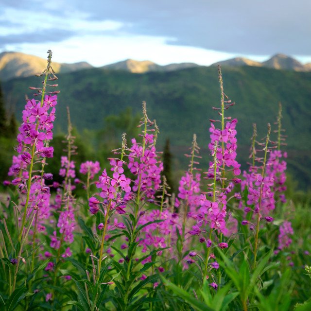"""""""Fireweed in the Foreground"""" stock image"""