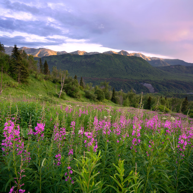 """""""Fireweed in Full Bloom"""" stock image"""