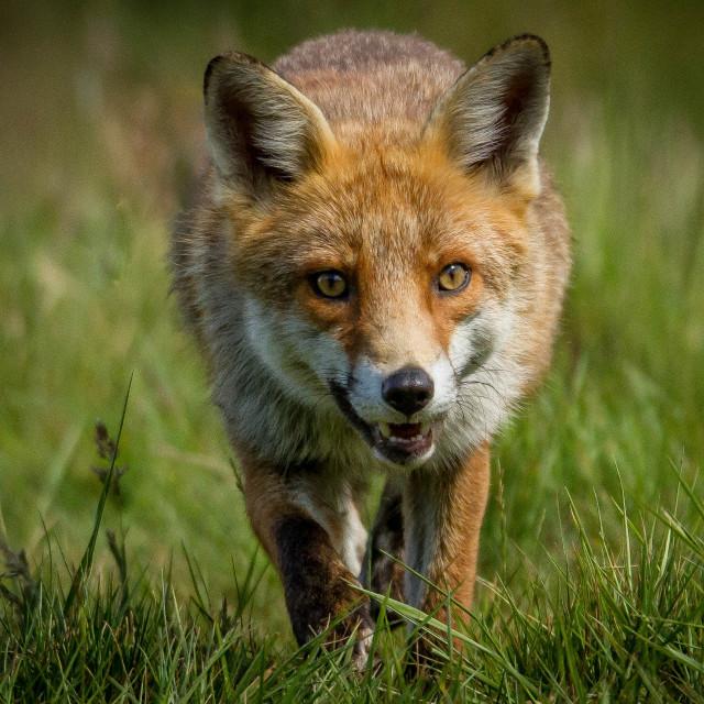 """The Fox"" stock image"