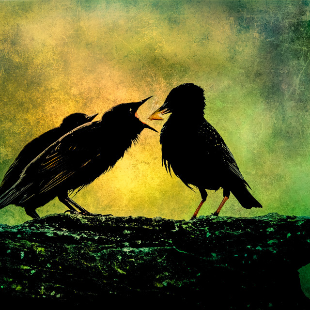 """""""Mother Starling Feeding Her Baby"""" stock image"""