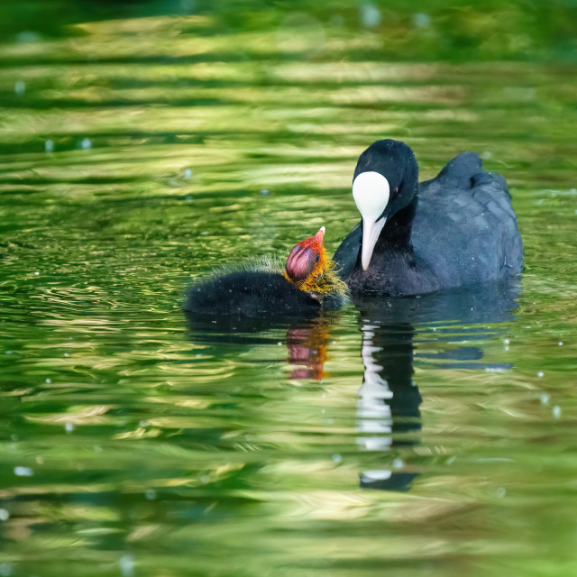 """Coot (Fulica atra) chick looking expectantly up at it's parent, waiting to be..."" stock image"
