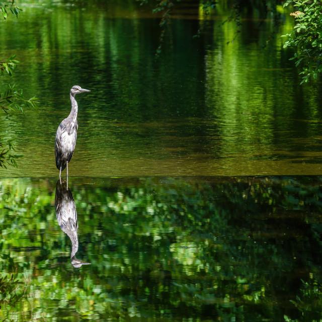 """Grey Heron (Ardea cinerea) reflected in the River Crane, West London"" stock image"