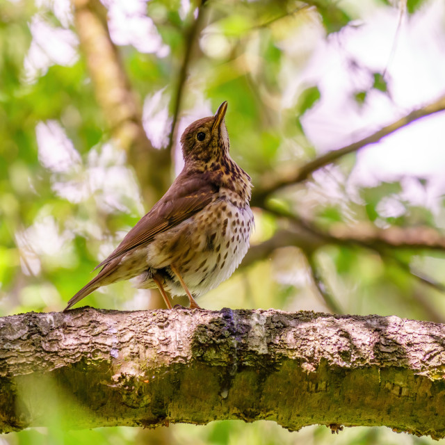 """""""Song Thrush (Turdus philomelos) in shade of a tree, taken in the UK"""" stock image"""