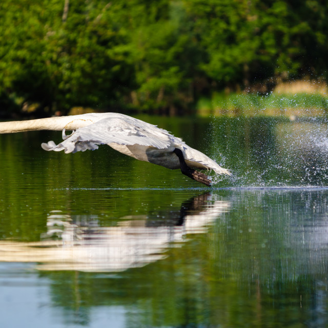 """Mute swan (Cygnus olor) adult during take off, West London, England"" stock image"
