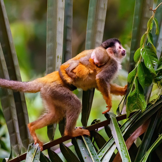 """Common Squirrel Monkey (Saimiri sciureus) mother and baby crossing a palm..."" stock image"