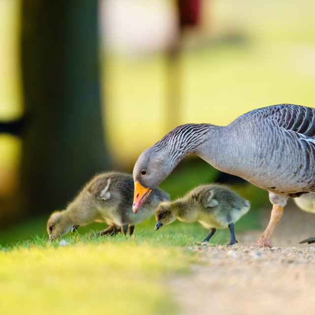 """Greylag Goose (Anser anser) family feeding along the edge of a path, taken in..."" stock image"
