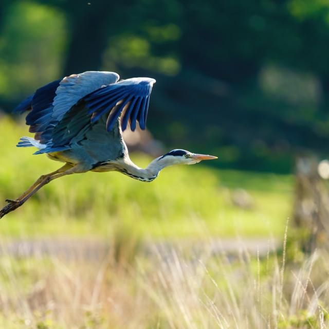 """""""Grey Heron (Ardea cinerea) taking off, taken in London"""" stock image"""
