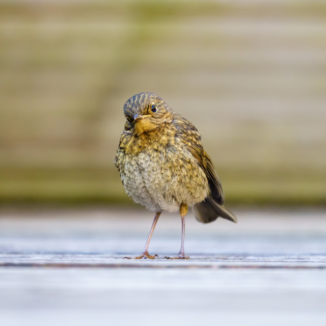 """""""European Robin (Erithacus rubecula) on ground with head cocked to the side,..."""" stock image"""
